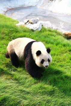 Panda (Ailuropoda melanoleuca) China