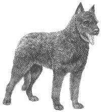 Hollandsk gjeterhund, langhåret