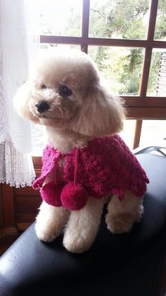 This little Poodle is so sweet and I love her little capelet.