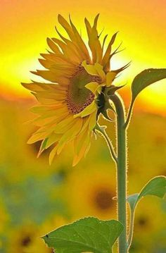 Sunflower Standing Tall in the Sun. Happy Flowers, All Flowers, Exotic Flowers, Amazing Flowers, Yellow Flowers, Growing Sunflowers, Sunflowers And Daisies, Sunflower Garden, Sunflower Art