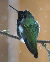How to Keep Hummingbird Nectar From Freezing: Overwintering hummingbirds need unfrozen nectar to survive.