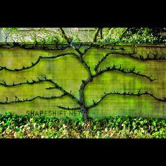 espalier fig tree | Found on flickriver.com