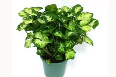 Tips for Growing Arrowhead Plants. The arrowhead plant can be fertilized monthly with a balanced fertilizer. The leaves change shape as the plant matures