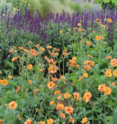 Salvia nemorosa 'Caradonna' and Geum 'Totally Tangerine' planting combination