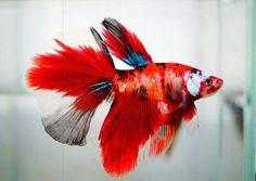Live betta fish HM MALE coral red white blue black <> FLAMING GRINGO <> IMPORT