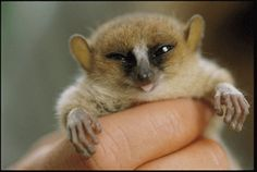 Tiny mouse #lemur <3