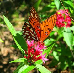 Butterfly Garden Plants   ... variety for nectar plants - Butterfly Garden Forum - GardenWeb