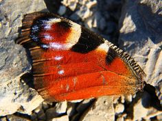 Butterfly wing, closeup