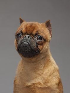 """Dammit, NO im not a bat. Ya douche"" - Brussels Griffon"