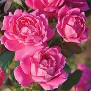 Knock Out Family  of Roses-Disease resistant, drought resistant, cold hardy-and also produces a bevy of blooms. Have 15 of these-highly recommend them.