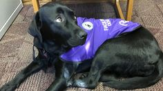 Merel is part Bernese Mountain dog, part black Labrador retriever and the first service dog in Ontario to provide support to children who will testify in court.