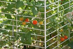 Use an old animal cage to contain your tomato plants! Just open the top to pick the tomatoes. Tomato Stakes, Tomato Support, Tomato Trellis, Animal Cage, Pet Cage, Tomato Plants, Gardening Tips, Tomatoes, Prepping