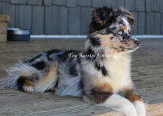KC MURPHY Toy Aussies Unleashed - Females Mastador Dog, Cavoodle Dog, Dog Photos, Dog Pictures, Cute Puppies, Dogs And Puppies, Doggies, Pappillon Dog, Teacup Animals