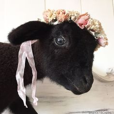 Beautiful French Vintage Taxidermy Black Baby Lamb