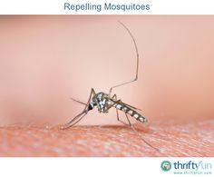 This is a guide about repelling mosquitoes. Mosquitoes can make being outside unpleasant very quickly. There are many methods of repelling mosquitoes, find the one that works for you.