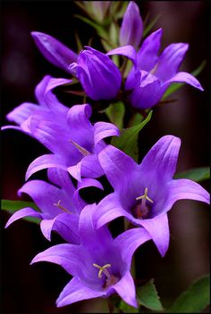 ✯ Giant Bellflower
