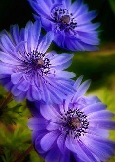 flowersgardenlove:  Blue Trio by Leena R Beautiful gorgeous pretty flowers