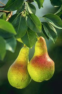 Pear facts and picking tips