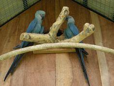 Ararinha-azul é vista na natureza depois de 15 anos