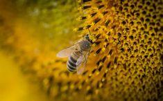 Macro Photography of a Bee · Free Stock Photo Lightroom, Photoshop, Fotografia Macro, Anton, Canon Eos, Bee Life Cycle, Bee Free, Backyard Beekeeping, Beeswax Food Wrap