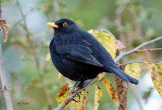 blackbird, Turdus merula, sikatan hitam
