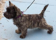Havenshire Cairn Terriers