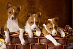 basenji puppies - little foxes :)