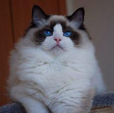 A stunning Sealpoint Bicolor Ragdoll kitten.