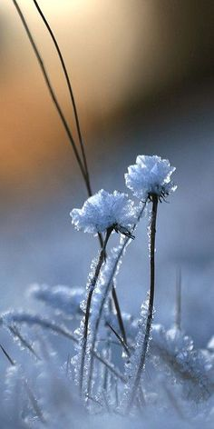 Winter beauty - snow forms ice crystal flowers on blades of grass in a winter field