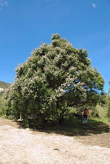 Kanuka Tree in Puhi Puhi valley, near Kaikoura grows to Unrequited Love Quotes, Fun Test, Skincare Packaging, Fast Growing Trees, Tree Forest, Native Plants, One Pic, About Me Blog, Country Roads