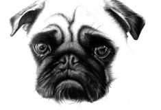   Realistic Pencil Drawing Of A Pug Dog Drawing