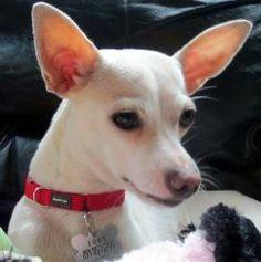 Chihuahua Terrier Mix White