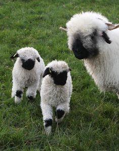 Valais Blacknose Sheep at Prendwick Farm which belong to Jamie Wood Cute Baby Animals, Farm Animals, Animals And Pets, Wild Animals, Valais Blacknose Sheep, Tiger Cubs, Tiger Tiger, Bengal Tiger, Cute Lamb