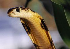 Most Dangerous Animal Venomous Snakes1 Most Dangerous Animals and How ...