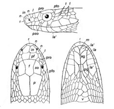 Line diagram showing scales of the head of a snake. Three views are shown with the top view on left, underview on right and the sideview above the other two views.