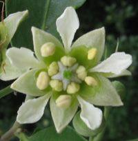 Quillaja saponaria (quillay)