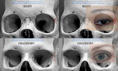 Anatomy Reference AnatoRef — Eyes of Different Races Row 5 (Right) Eye Anatomy, Facial Anatomy, Anatomy Poses, Anatomy Study, Anatomy Art, Anatomy Drawing, Human Anatomy, Zbrush Anatomy, Skull Reference