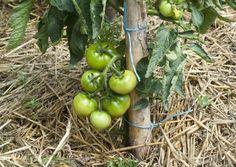 13 astuces pour bien faire pousser les tomatesnoté 3.9 - 257 votes Si vous avez la chance d'avoir un potager ou un peu d'espace libre pour faire pousser de belles choses, il y a fort à parier que les tomates serontparmi les pousses les plus prisées et choyées par toute la famille. En effet, rares …