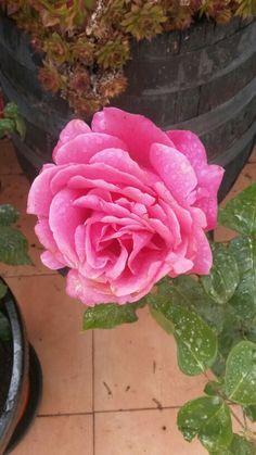 #flowers #rosa rosa
