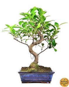 Ficus retusa, 35-40cm
