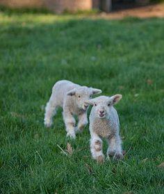 Colonial Williamsburg's Rare Breeds Program was begun in 1986 to preserve geneti. - Colonial Williamsburg's Rare Breeds Program was begun in 1986 to preserve genetic diversity in li - Zoo Animals, Cute Animals, Sunrise Farm, Rare Breeds, Baa Baa Black Sheep, Sheep And Lamb, Horses And Dogs, American, Colonial Williamsburg