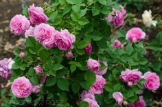 Just as you would suspect a Bourbon rose to have, it has a wonderfully strong old rose scent. Description from hedgerowrose.com. I searched for this on bing.com/images