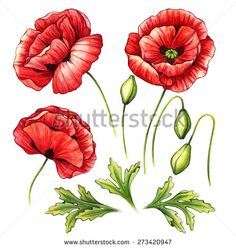 Learn how to draw poppy flower poppy step by step drawing watercolor set of poppies flowers and buds illustrations hand drawn detailed floral elements isolated on white background stock photo mightylinksfo