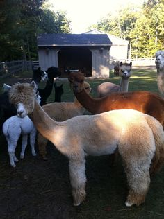 Scenic Sky L. is an alpaca farm located in North Muskegon, Michigan owned by Jean R.