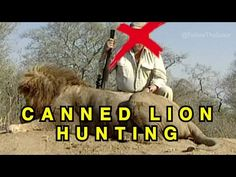 Lion Trophy Hunting - Serial Killing Captive Animals - YouTube