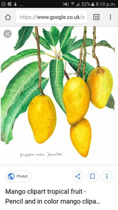 58 Ideas mango tree watercolor for 2019 Botanical Drawings, Botanical Prints, Plantar Mango, Mango Fruta, Logo Arbol, Tropical Artwork, Banana Blossom, Fruits Drawing, Mango Tree