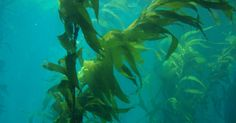 Dalle alghe infestanti un'alternativa alla plastica
