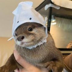 Otter with a hat - your daily dose of funny cats - cute kittens - pet memes - pets in clothes - kitty breeds - sweet animal pictures - perfect photos for cat moms Cute Otter, Otters Cute, Baby Otters, Baby Sloth, Cute Little Animals, Cute Funny Animals, Funny Cats, Hamster, Cute Creatures