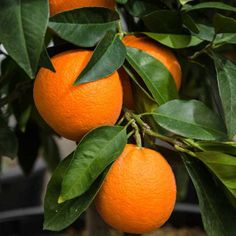 The Valencia or Murcia orange is one of the sweet oranges used for juice extraction. Good-quality Valencia oranges should be firm and heavy for their size. Select thin-skinned oranges with smooth, finely-textured skin. Valencia oranges have seeds.