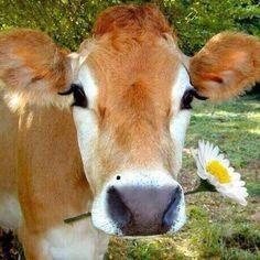 Cute Baby Cow, Baby Cows, Cute Cows, Cute Baby Animals, Farm Animals, Animals And Pets, Funny Animals, Beautiful Creatures, Animals Beautiful